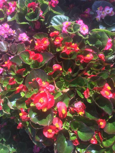 Green Leaf Begonia