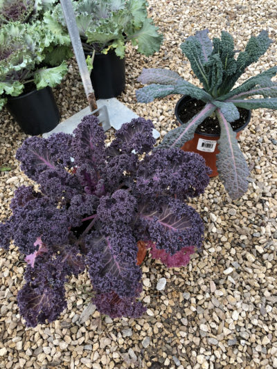 Red Bore Kale