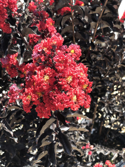 Black Diamond Crape Myrtle Red