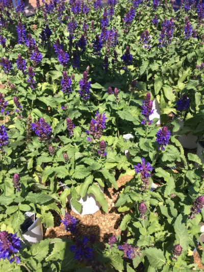 Blue Marvel Salvia
