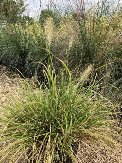 Hamlen Grass