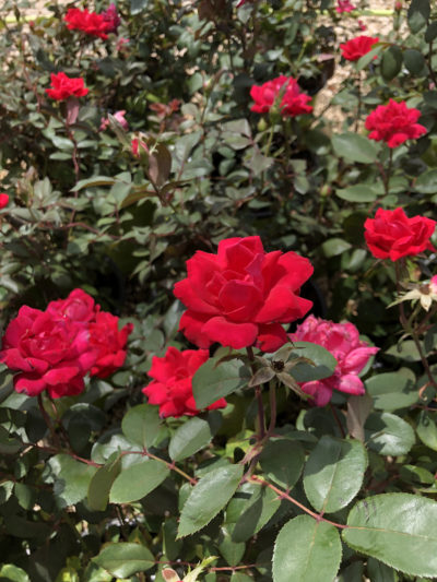 Red Knockout Rose