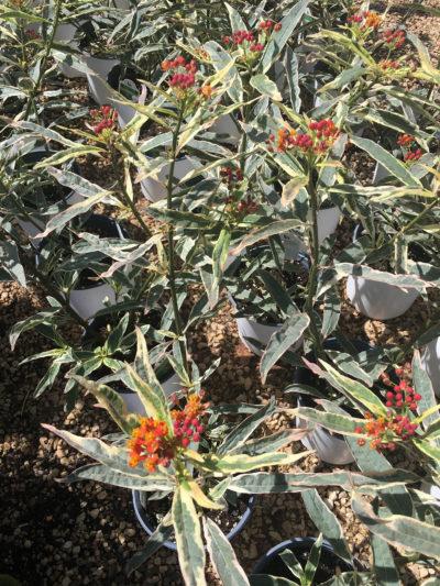 Varigated Milkweed