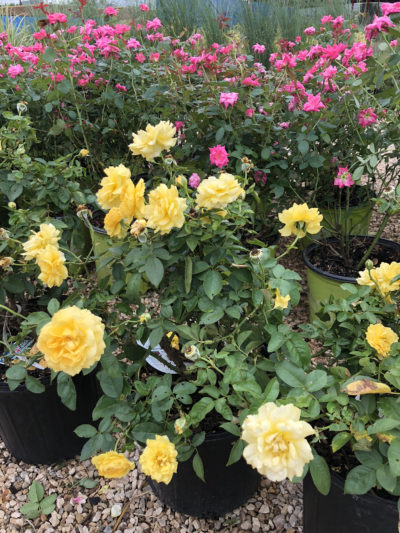 Yellow Knockout Rose